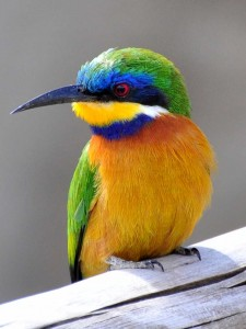 blue-breasted-bee-eater-ethiopia